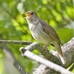 Музыкальные открытки Пение птиц